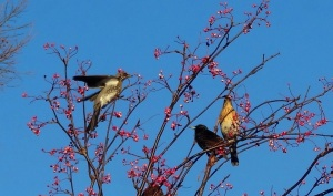 Fieldfares in Aberdeenshire