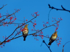 Fieldfares feeding on a Rowan tree in Aberdeenshire