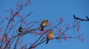 Fieldfares on Rowan tree in Aberdeenshire