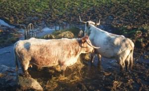 Coos at Doonies in Aberdeen 1 jan2013 009
