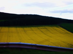 Rapeseed crop off A96