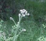Cirsium arvense creeping thistle