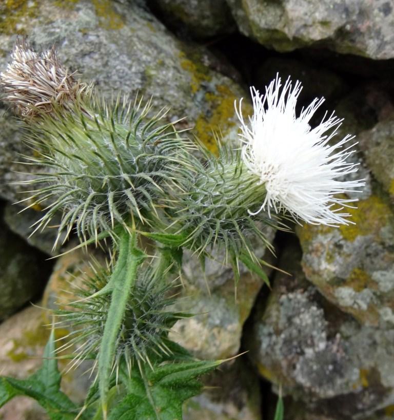 White thistle lenathehyenas blog cirsium vulgare mightylinksfo