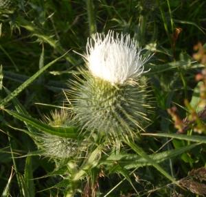 white thistle, Aberdeenshire