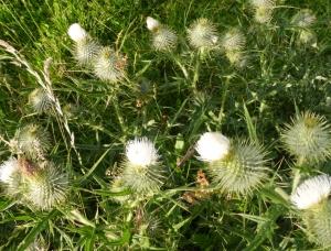 white thistles Aberdeenshire