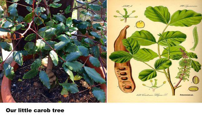 carob in greenhouse