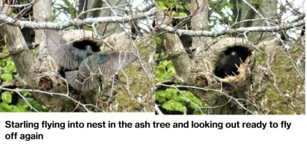 starlings at nest